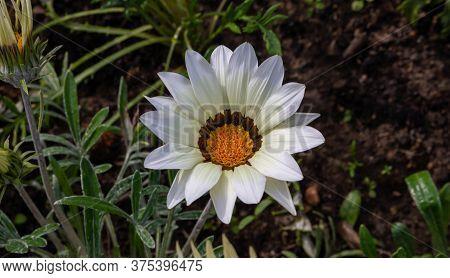 Close-up Photo Of A Beautiful White Garden Flower Gazania Gazania Linearis In A Flower Bed In The Pa