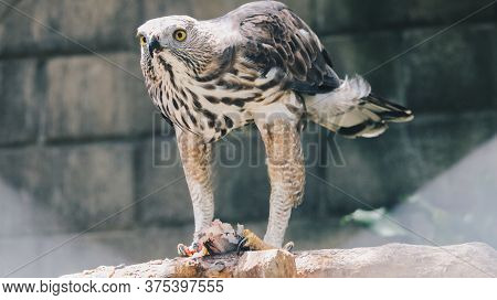 The Changeable Hawk-eagle Or Crested Hawk-eagle (nisaetus Cirrhatus) Sitting On The Branch Eating Fi