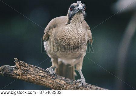 Close Up Portrait Of Helmeted Friarbird, Philemon Buceroides, Sitting On Tree Branch. Very Strange L