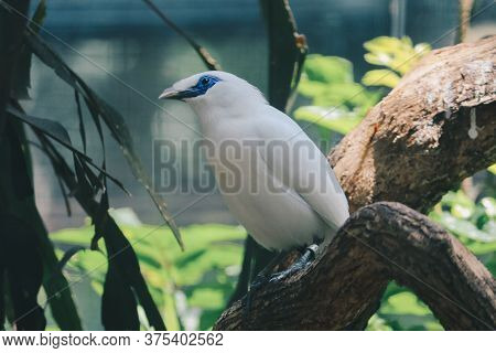 Bali Myna (leucopsar Rothschildi) Or Jalak Bali. Endangered And Endemic Bird From Indonesia