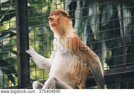 Portrait Of Male Proboscis Monkey (nasalis Larvatus) In Conservation Area Of Kalimantan, Indonesia.