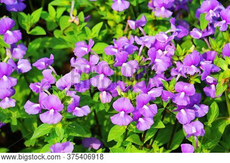 Brazilian Snapdragon, Amazon Blue Is Biennial Plants That Can Be Released Throughout The Year