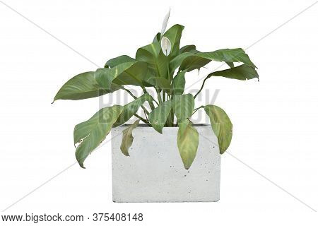 Peace Lily Or Spathiphyllum Bloom In Pot Isolated On White Background Included Clipping Path.