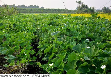 Close Up Of The Green Vines, Leaves And White Flower Of Lauki Plants Or Calabash, Bottle, White-flow