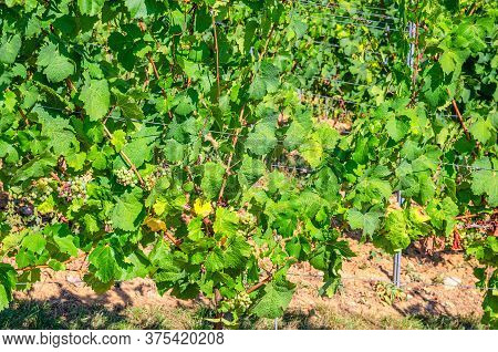 Grapevine Trees With Grapes And Leaves On Trellis With Steel Pole In Vineyards Green Fields On Hills