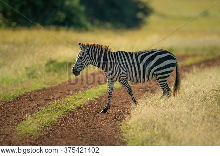 Plains Zebra Crosses Dirt Track In Savannah