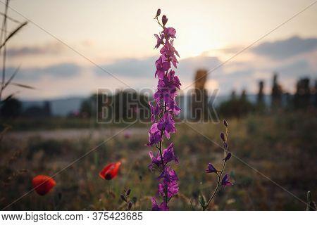 Beautiful Wild Purple Flowers At Sunset, Close Up
