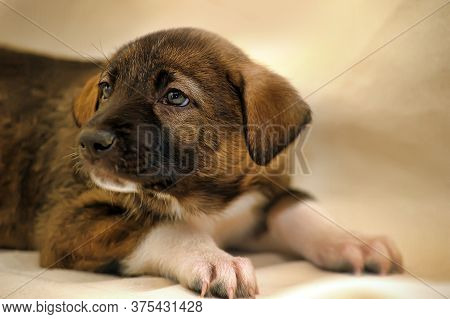 Sad Puppy Crossbreed Sheep Dog On A Light Background.