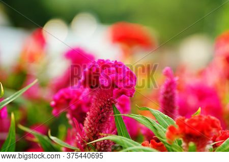 Close Up, Macro Photo Texture And Detail Celosia Argentea Or Plumed Cockscomb Blossom On Neture Back