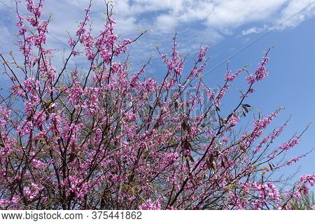 Blossoming Branches Of Cercis Canadensis Against Blue Sky In April