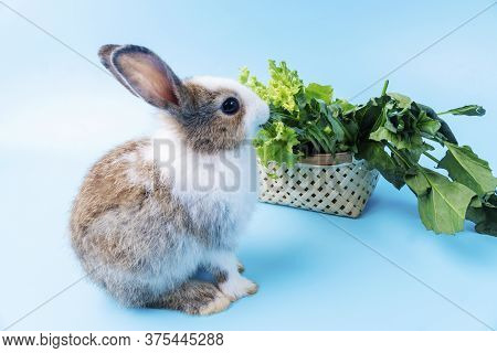 Adorable Little Young Brow And White Rabbits With Green Fresh Lettuce Leaves In Basket While Sitting