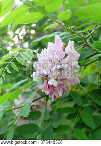 Blooming Brush Of Decorative  Robinia Viscosa Tree In A Botanical Garden. Fragrant Flowers Of Pink A