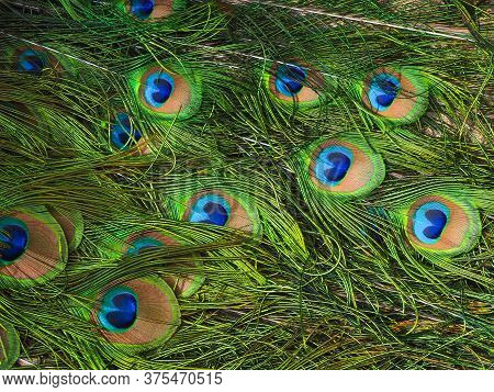 Closeup Of The Beautiful Feathers On The Tail Of A Male Peacock, Pavo Cristatus