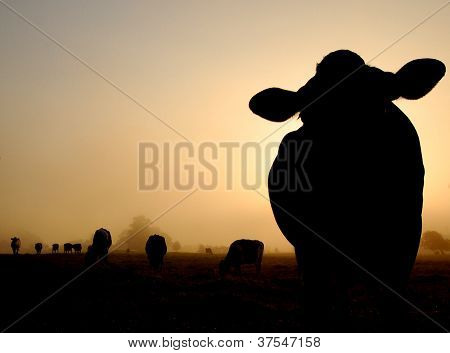 Silhouette of a herd of cows