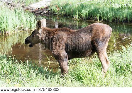 Colorado Moose Living In The Wild. Moose Calf Near Watering Hole