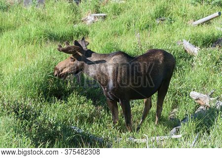 Colorado Moose Living In The Wild. Bull Moose In Fresh Summer Grass
