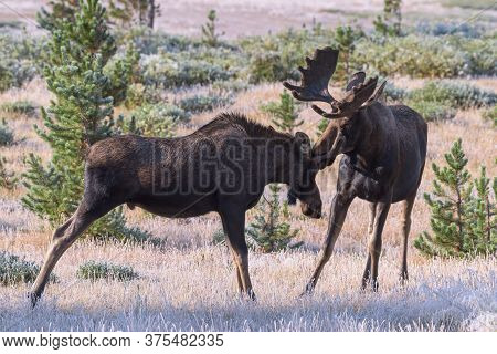 Colorado Moose Living In The Wild. Two Young Bulls Sparing