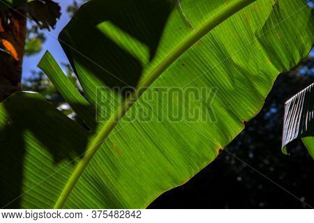 Banana Leaf Of Tropical Plant In Sun Backlight. Exotic Plant Banner Template. Tropical Summer Nature