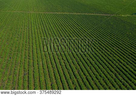 Strawberry Fields, Agriculture Farm Of The Strawberry Field Of Biotechnology. Plantation Of Berries