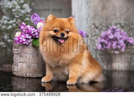 red pomeranian, portrait in a basket with flowers