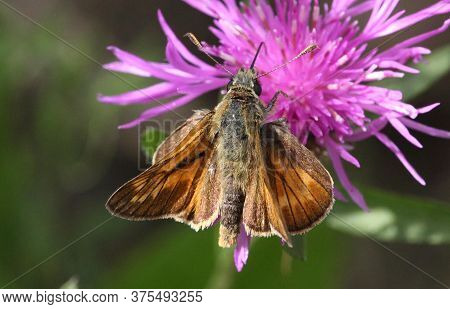 Large Skipper Butterfly; Marston Thrift; Bedfordshire; England