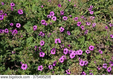 A Hardy Geranium Plant With Bright Pink Flowers A Species Of Cranesbills