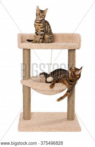 Toyger Catand Bengal Kitten Are Sitting On The Scratching Post. Scratching Play Complex For Cats Wit