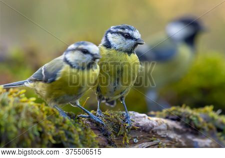 Young Eurasian Blue Tits (cyanistes Caeruleus) Sitting Together For Posing On Mossy Wooden Branch At