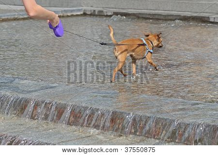 The Dog On Leash In Pool With Water