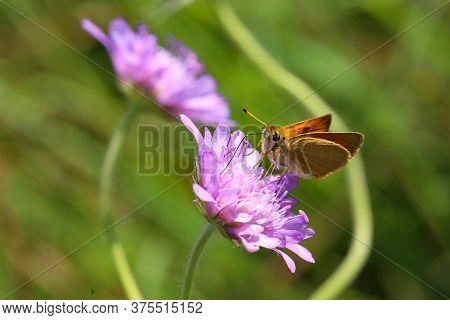 A Close Up View Of A Large Skipper Butterfly