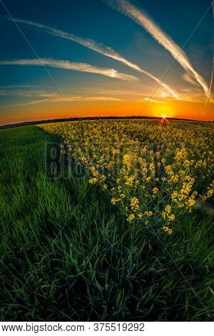 Sunset Scene Over A Canola Field And A Green Wheat Field In The Spring Against A Blue Sky
