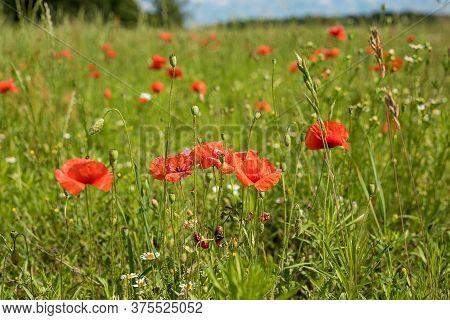 Photo Of Red Poppies Blooming In The Tall Green Grass. A Meadow In The Middle Of A Forest And A Smal