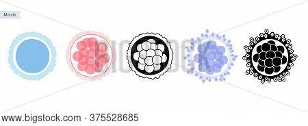 Morula Cell Icon Set. Embryo Development Stage. Pregnancy, Insemination And Fertalization Concept. H