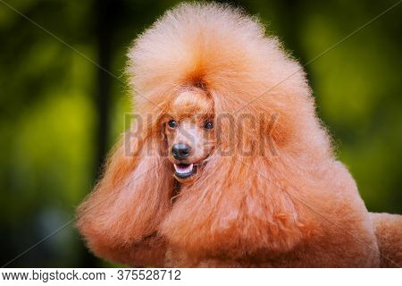 Portrait Of A Small Poodle Of Apricot Color In Nature