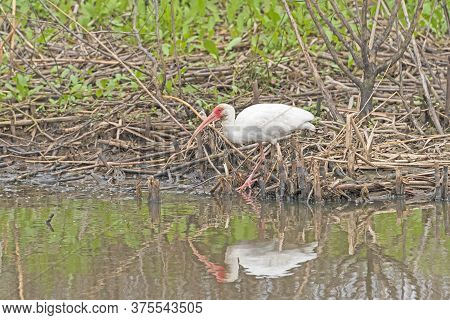 White Ibis Searching For Food On A Wetland Bank In Anahuac National Wildlife Refuge In Texas