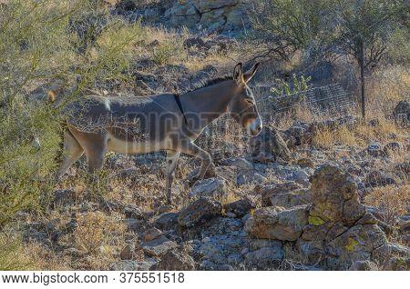 Free Roaming Wild Burro's At The Lake Pleasant Regional Park. Sonoran Desert, Arizona Usa