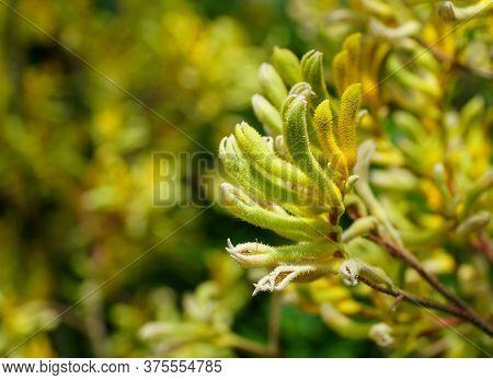 Tiny Flowers Of Kangaroo-paws \'big Roo Yellow\'