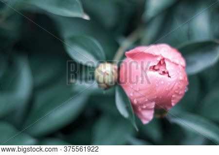 Unopened Bud Of Peony In The Garden. Green Bud Of Peony Surrounded By Green Leaves Close-up.fresh Pe