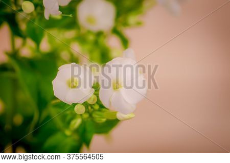 Close Up Of A Bouquet Of Phlox Ice Cap Summer Flowers Variety, Studio Shot, White Flowers