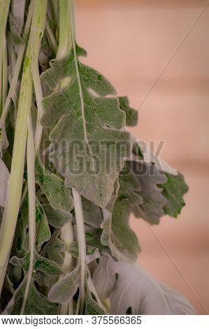 Close Up Of A Bouquet Of Senecio Cineraria Foliage Variety, Studio Shot, Green Flowers