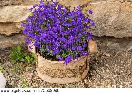 Aubretia Purple Flowers - Latin Name - Aubrieta Gartenstadt Purpur