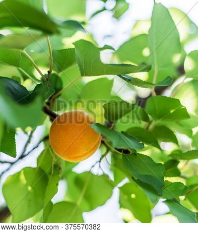 Harvesting of apricots. Woman's hand pick a ripe apricot from a tree branch.
