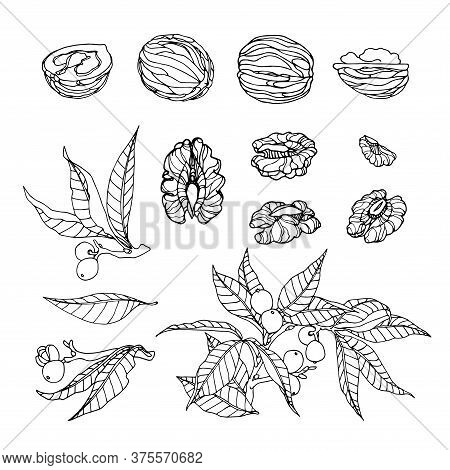 Set Of Walnut Branches, Nuts In Shell, Kernels, Element Of Decorative Ornament Or Pattern, Vector Il