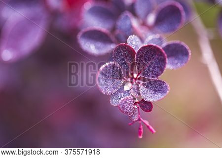 Branch Of Barberry With Purple Leaves In Drops Of Dew Or Rain