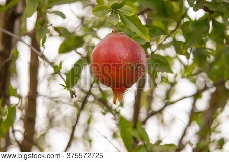 A Ripe Bright Red Pomegranate Hanging On The Tree, This Photo Is Taken From The Rural Area In Rajast