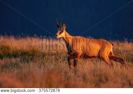 Majestic Tatra Chamois Walking On Meadow In Mountains At Sunset.