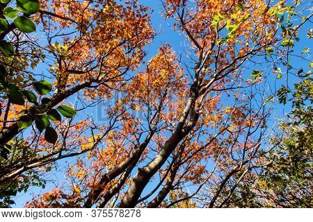 Orange Autumn Forest With Japanese Maple Trees Branches In Blue Sky Background In Unzen-amakusa Nati