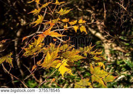Yellow And Orange Dry Autumn Japanese Maple Leaves In Unzen-amakusa National Park In November. Kyush