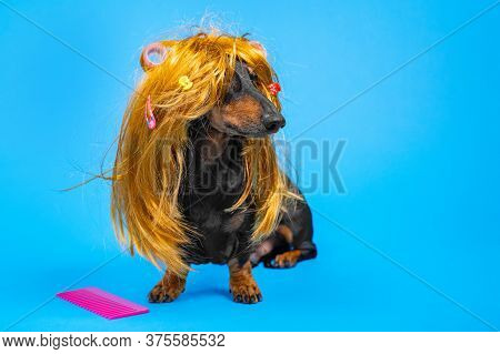 Beautiful Dog In A Disheveled Wig With Hairpins And Curlers Sitting Next To A Large Pink Comb On A B