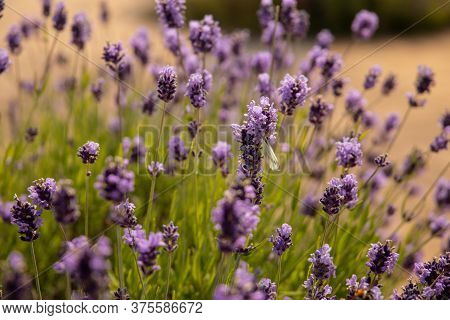 Lavender Flowers Blooming. Close Up, Purple Flowers Background.